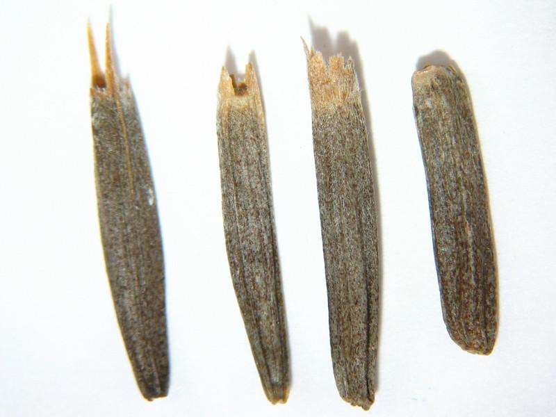 Wyethia mollis (WYMO)