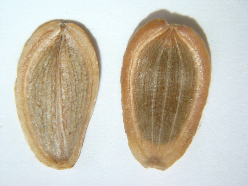 Lomatium macrocarpum (LOMA3)