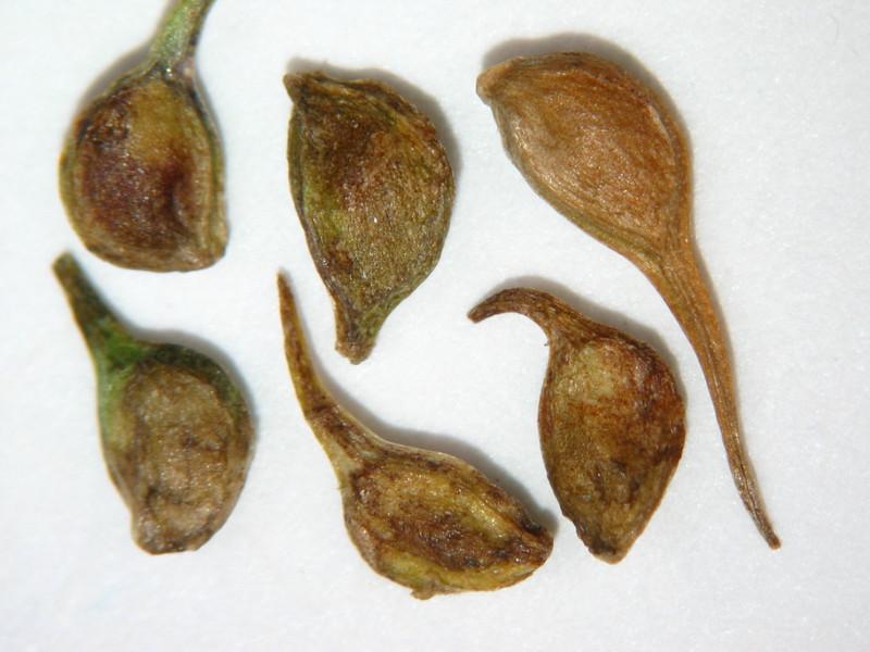 Ranunculus orthorhyncus (RAOR3)