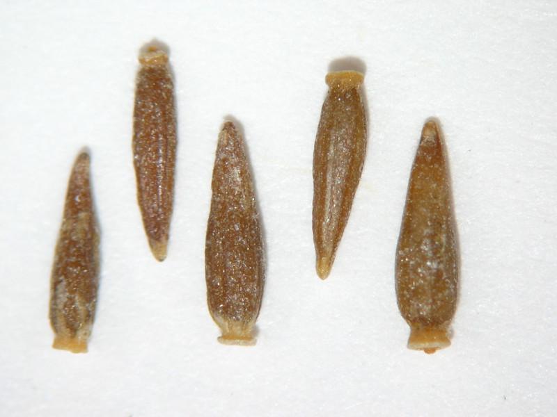 Tetradymia glabrata (TEGL)