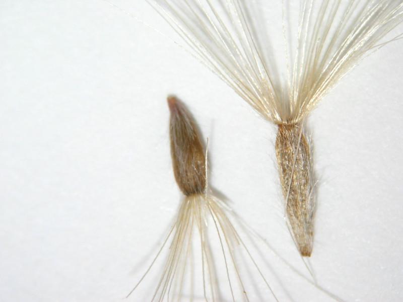 Heterotheca villosa (HEVI4)