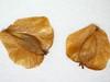 Alnus viridis ssp. sinuata (ALVIS)