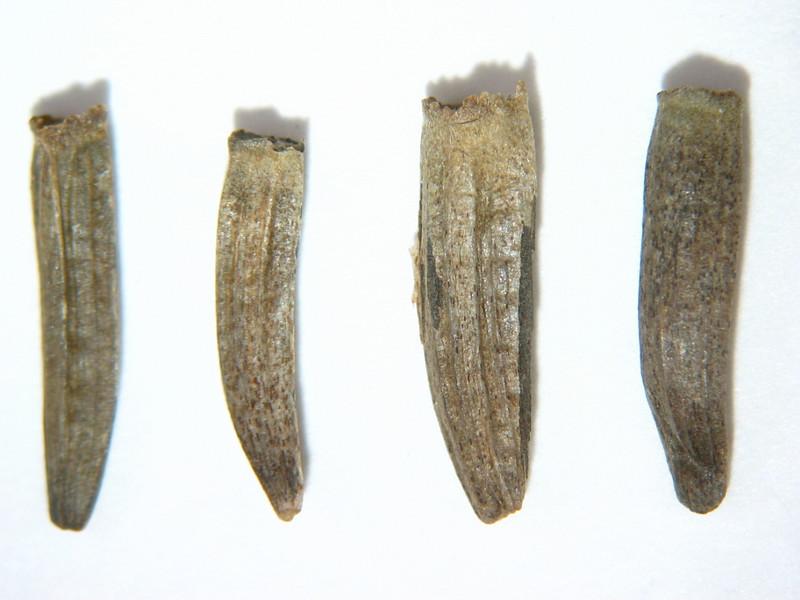 Wyethia angustifolia (WYAN)
