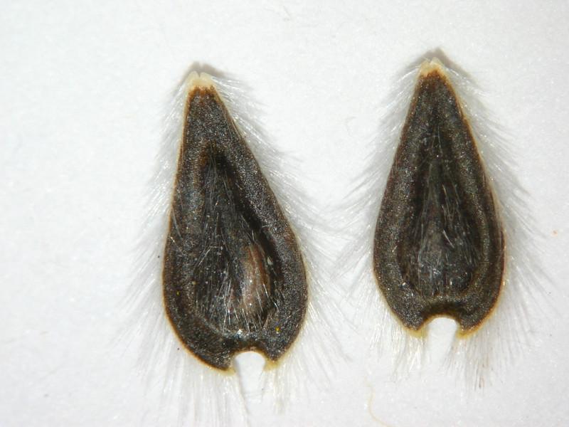 Encelia farinosa (ENFA)
