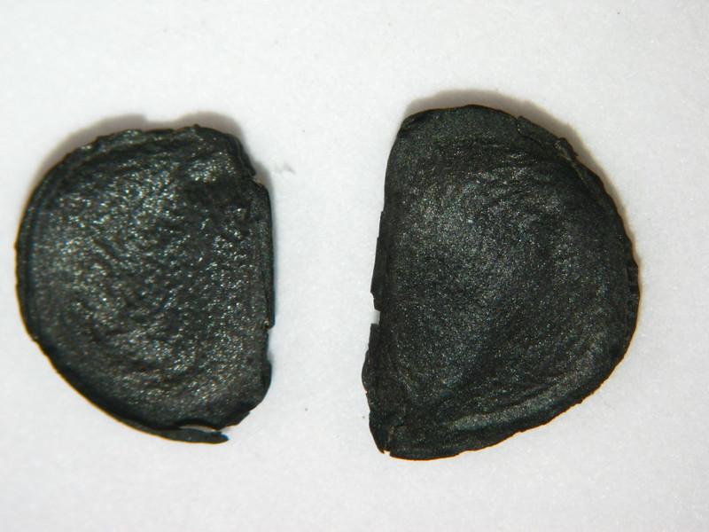Agave palmeri (AGPA3)