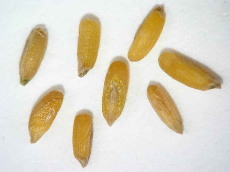 Pleuraphis jamesii (PLJA)