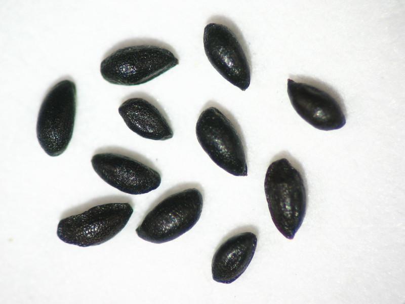 Mitella stauropetala (MIST3)