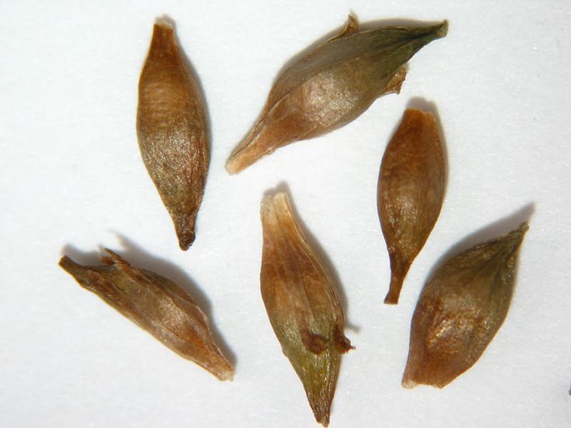 Sparganium angustifolium (SPAN2)