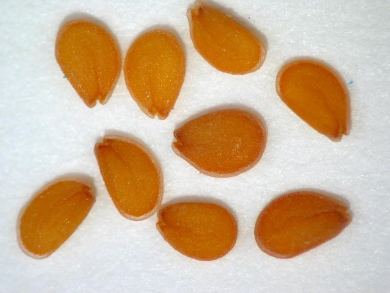 Lepidium lasiocarpum (LELA)