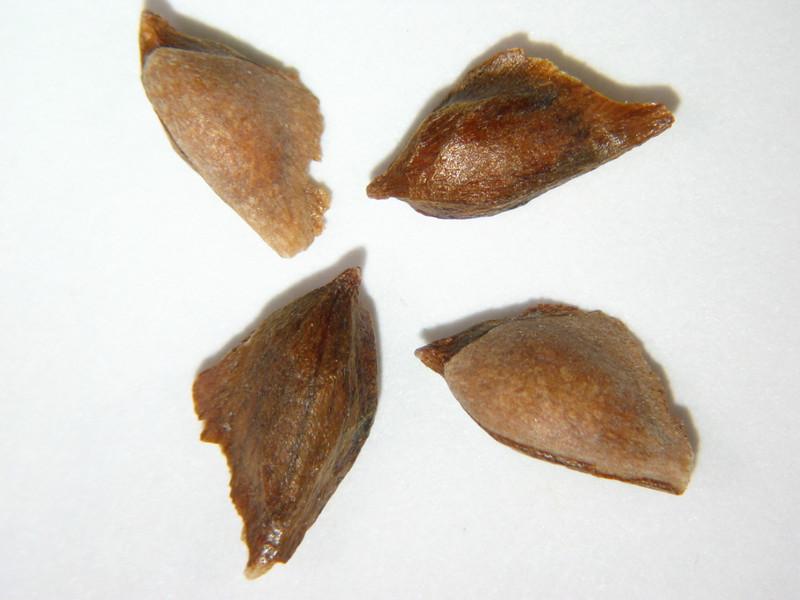 Pseudotsuga menziesii (PSME)