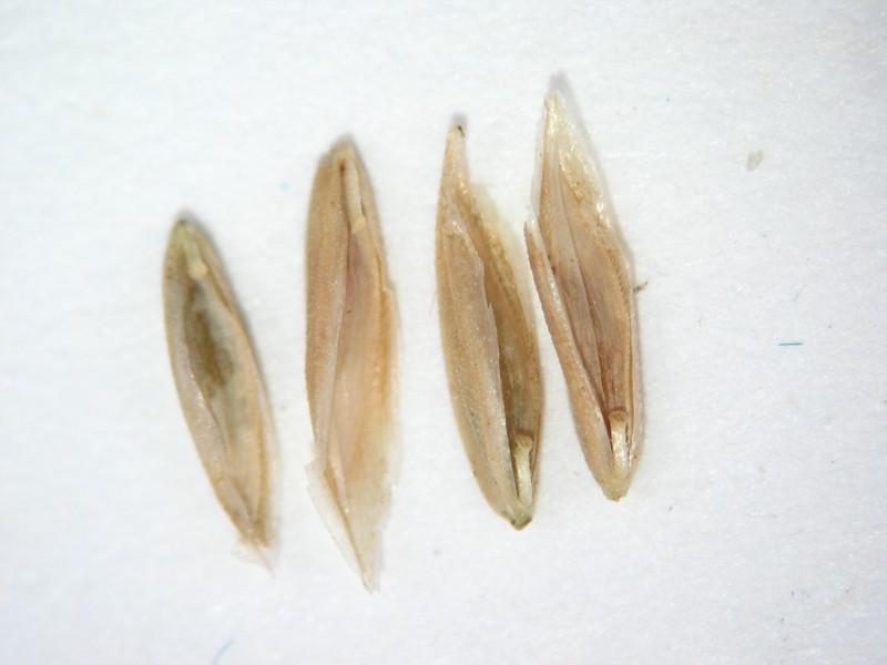 Poa wheeleri (POWH2)