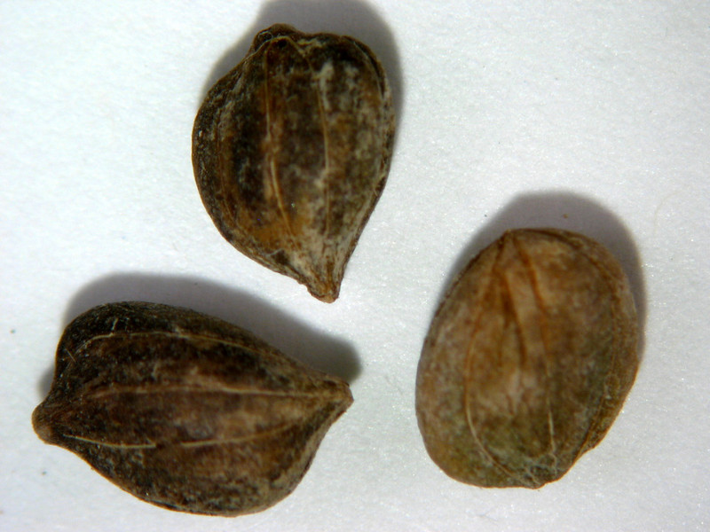 Cornus sericea (COSE16)