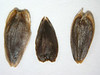 Helianthella uniflora var. uniflora (HEUNU)