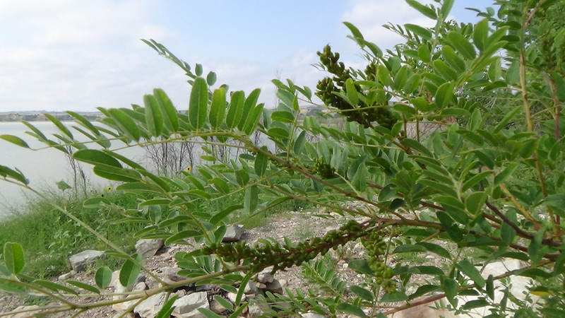 Desert false indigo - Amorpha fruticosa (AMFR) Photo by Denise Wilson, CBG.