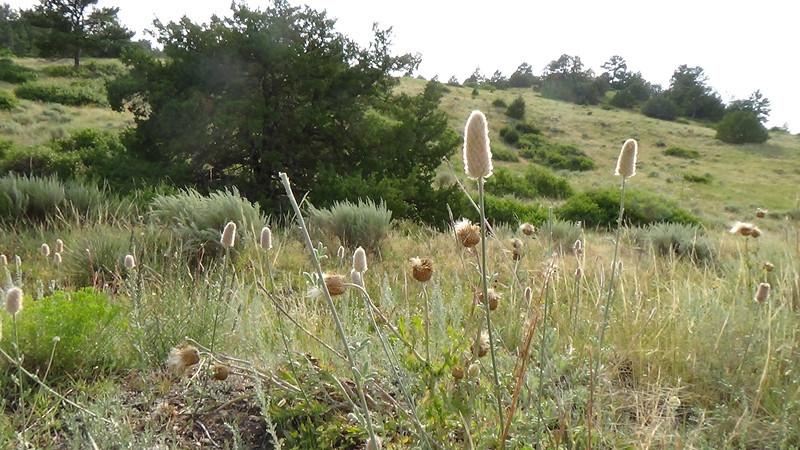 Golden prairie clover - Dalea aurea (DAAU) Photo by Denise Wilson, CBG.