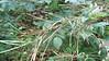 fireweed - Chamerion angustifolium subsp. circumvagum (CHANC)