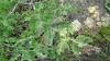 Leadplant - Amorpha canescens (AMCA6) Photo by Denise Wilson, CBG.