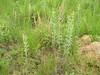 prairie Junegrass - Koeleria macrantha (KOMA)