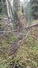 brook saxifrage - Saxifraga odontoloma (SAOD2)