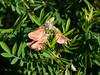 Virginia tephrosia - Tephrosia virginiana (TEVI)