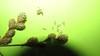 shortbeak sedge - Carex brevior (CABR10)