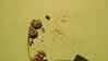 sidebells wintergreen - Orthilia secunda (ORSE)