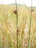 Mountain rush - Juncus arcticus ssp. littoralis (JUARL). Photo by Denise Wilson.