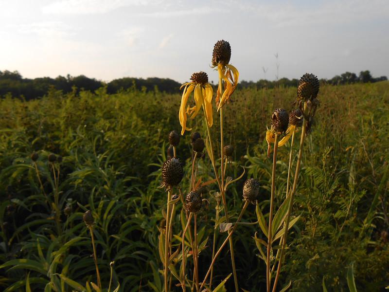 Pinnate prairie coneflower - Ratibida pinnata (RAPI) Photo by Glen Fell, CBG.