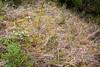 gray goldenrod - Solidago nemoralis (SONE)