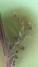 Scribner's rosette grass - Dichanthelium oligosanthes var. scribnerianum (DIOLS)