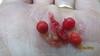 bunchberry dogwood - Cornus canadensis (COCA13)