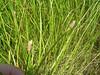 Common spikerush - Eleocharis palustris (ELPA3) at Sheyenne National Grassland, ND. Photo by Emily Yates.