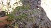 Slimflower scurfpea - Psoralidium tenuiflorum (PSTE5) Photo by Denise Wilson, CBG.
