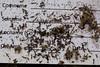 blackeyed Susan - Rudbeckia hirta (RUHI2)