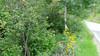 Cutleaf coneflower - Rudbeckia laciniata (RULA3) Photo by Denise Wilson, CBG.