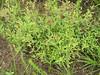 longbranch frostweed - Helianthemum canadense (HECA3)