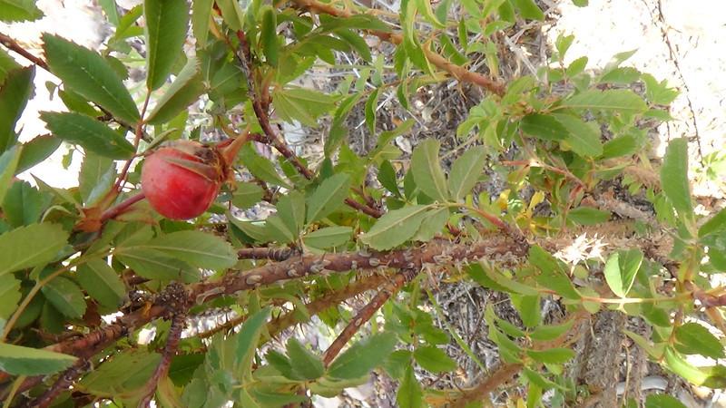 Woods' rose - Rosa woodsii var. woodsii (ROWOW) Photo by Denise Wilson, CBG.
