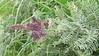 leadplant - Amorpha canescens (AMCA6)