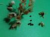 Textile onion - Allium textile (ALTE) Photo by Denise Wilson, CBG.
