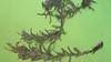downy paintedcup - Castilleja sessiliflora (CASE5)