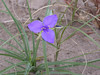 Prairie spiderwort - Tradescantia occidentalis (TROC) in North Dakota. Photo by Emma York.