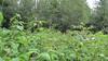 Chamerion angustifolium subsp. circumvagum (CHANC)
