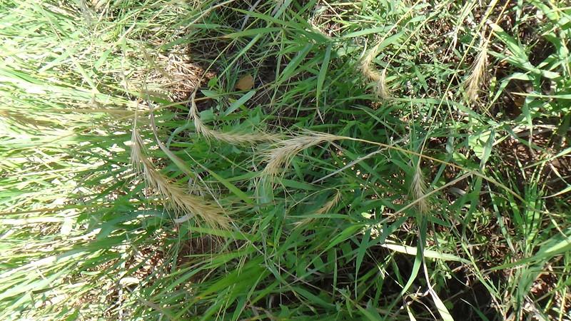 Blacksamson echinacea - Echinacea angustifolia var. angustifolia (ECANA) Photo by Denise Wilson, CBG.