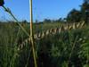 Sideoats grama - Bouteloua curtipendula (BOCU) Photo by Glen Fell, CBG.