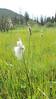 tall cottongrass - Eriophorum angustifolium (ERAN6)