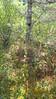 roundleaf sundew - Drosera rotundifolia (DRRO)