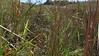 American water horehound - Lycopus americanus (LYAM)
