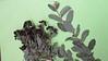 Jersey tea - Ceanothus herbaceus (CEHE)