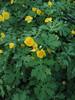 Celandine poppy - Stylophorum diphyllum (STDI3) Photo by Hilary Cox.