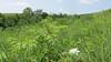 prairie blue-eyed grass - Sisyrinchium campestre (SICA9)